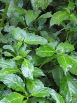 Salvia MX